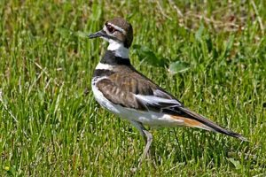 killdeer_2