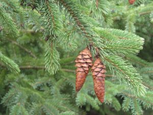 pinecones on the cutoff