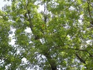 Oriole in tree