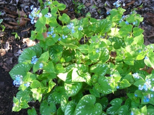 Brunnera Langstee