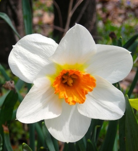 Close up of white daffodil:garden:2