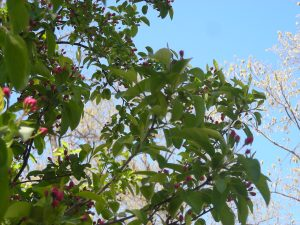 Crabapple:David Wyman:Buds