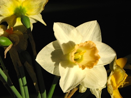 Daffodils:front in sun