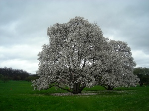 Flowering tree in full bloom