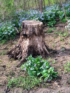 Bluebells:stump