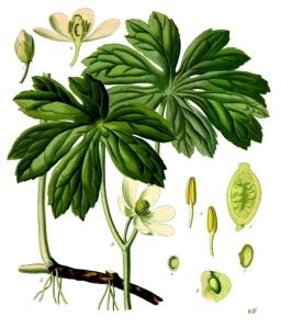 Podophyllum_peltatum_-_Köhler–s_Medizinal-Pflanzen-246
