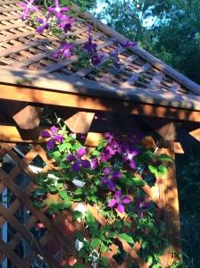 Arbor:Clematis:purple