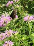 Swallowtail on begamot