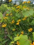 yellow coneflowers:leaning